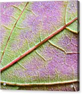 Maple Leaf Macro Acrylic Print by Adam Romanowicz