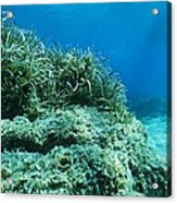 Marine Plants Acrylic Print by Science Photo Library