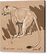 Masai Lioness Acrylic Print by Aaron Blaise