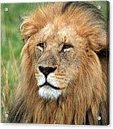 Masai Mara Lion Portrait    Acrylic Print by Aidan Moran