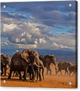 Matriarch On Amboseli Acrylic Print by Pieter Ras