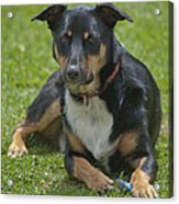 Max Kelpie Border Collie Cross Acrylic Print by Patrick OConnell