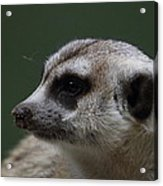 Meerket - National Zoo - 01137 Acrylic Print by DC Photographer