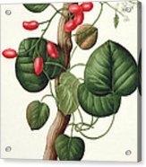 Menispermum Acrylic Print by LFJ Hoquart