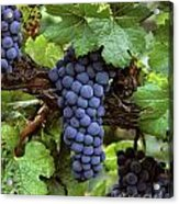 Merlot Clusters Acrylic Print by Craig Lovell