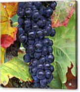 Merlot Grapes Acrylic Print by Kevin Miller