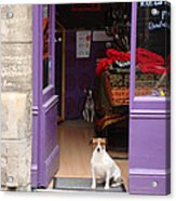 Minding The Shop. Two French Dogs In Boutique Acrylic Print by Menega Sabidussi