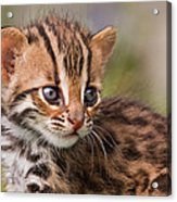 Miniature Leopard Acrylic Print by Ashley Vincent