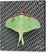Mint Green Luna Moth Acrylic Print by Andee Design