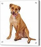 Mixed Breed Female Large Dog Acrylic Print by Susan Schmitz