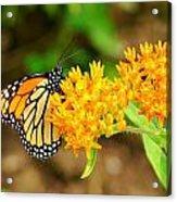 Monarch Butterfly Acrylic Print by Carol Toepke