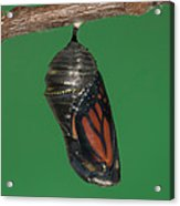 Monarch Butterfly Chrysalis Iv Acrylic Print by Clarence Holmes
