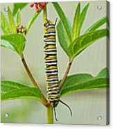 Monarch Caterpillar And Milkweed Acrylic Print by Steve Augustin