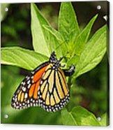 Monarch Egg Time Acrylic Print by Steve Augustin