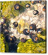 Monterey Bay Tide Pools Acrylic Print by Artist and Photographer Laura Wrede