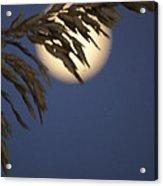 Moonlight Sea Oat Acrylic Print by Glenda Barber
