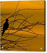 Morning Dove Acrylic Print by Kelly Gibson