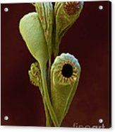 Moss Spore Capsules Acrylic Print by Eye of Science