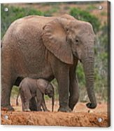 Mother And Calf Acrylic Print by Bruce J Robinson