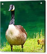 Mother Goose Acrylic Print by Ella Char