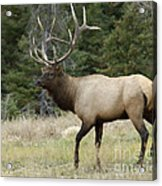 Mr Majestic Acrylic Print by Bob Christopher