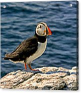 Mr. Puffin Acrylic Print by Michael Pickett