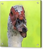 Muscovy Duck Acrylic Print by Rudy Umans