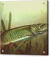Muskie And Spinner Bait Acrylic Print by Jon Q Wright