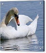 Mute Swan 1 Acrylic Print by Sharon  Talson