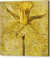 Narcissus Pseudonarcissus Acrylic Print by John Edwards