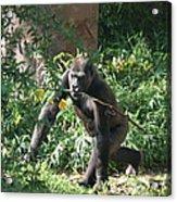 National Zoo - Gorilla - 121220 Acrylic Print by DC Photographer