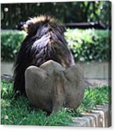 National Zoo - Lion - 011314 Acrylic Print by DC Photographer