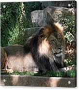 National Zoo - Lion - 011317 Acrylic Print by DC Photographer