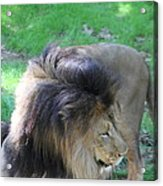 National Zoo - Lion - 01132 Acrylic Print by DC Photographer