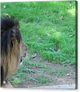 National Zoo - Lion - 01134 Acrylic Print by DC Photographer