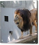 National Zoo - Lion - 01138 Acrylic Print by DC Photographer