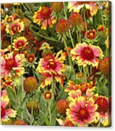 nature - flowers -Blanket Flowers Six -photography Acrylic Print by Ann Powell