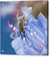 Nemestrinid Fly Feeding Acrylic Print by Science Photo Library