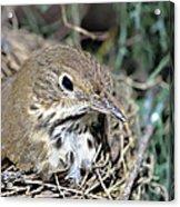 Nest In A Tree Acrylic Print by Susan Leggett