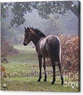 New Forest Pony Acrylic Print by Dave Pressland FLPA
