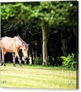 New Forest Pony Acrylic Print by Jane Rix
