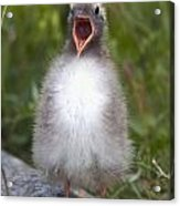 Newborn Arctic Tern Chick With Mouth Acrylic Print by Doug Lindstrand