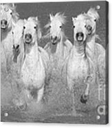 Nine White Horses Run Acrylic Print by Carol Walker
