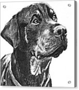 Noble Rottweiler Sketch Acrylic Print by Kate Sumners