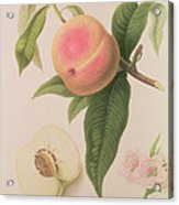 Noblesse Peach Acrylic Print by William Hooker