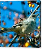 Northern Mockingbird Acrylic Print by Bob Orsillo