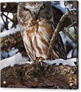Northern Saw-whet Owl.. Acrylic Print by Nina Stavlund