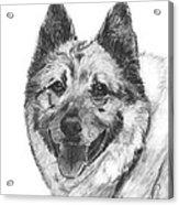 Norwegian Elkhound Sketch Acrylic Print by Kate Sumners