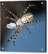 Oak Spider With Prey Acrylic Print by Science Photo Library