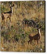 Oh Deer Acrylic Print by Charles Warren